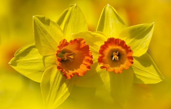 Картинка цветок, фон, лепестки, Нарцисс