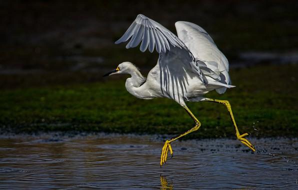 Картинка птица, крылья, клюв, шея, белая американская цапля