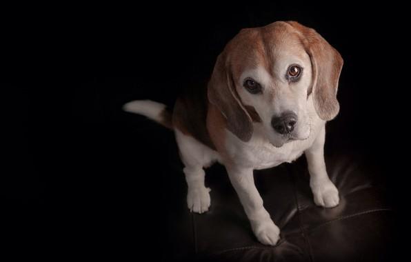 Картинка взгляд, собака, щенок, мордашка, чёрный фон, пёсик, Бигль