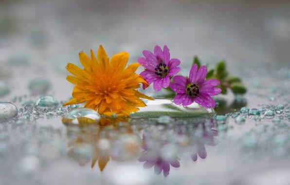 Картинка капли, одуванчик, полевый цветы