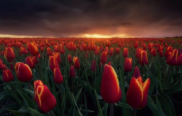 Картинка поле, небо, облака, свет, закат, цветы, тучи, вечер, Весна, Нидерланды, Огненные тюльпаны