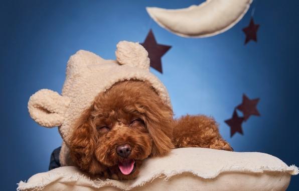 Картинка улыбка, собака, подушка, пёсик, Пудель
