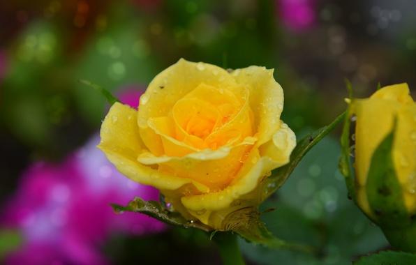 Картинка Капли, Дождь, Rain, Drops, Yellow rose, Жёлтая роза