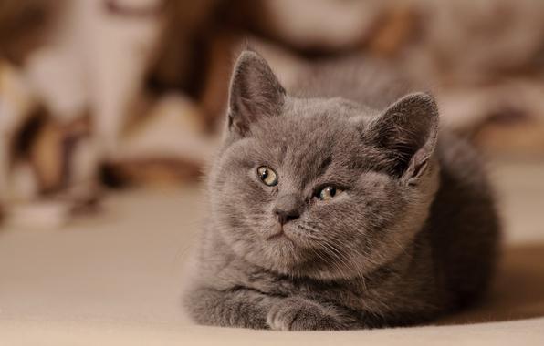 Картинка котенок, пушистый, смотрит
