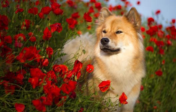 Картинка лето, цветы, природа, животное, маки, собака, пёс, Birgit Chytracek, ойразиер, евразиер