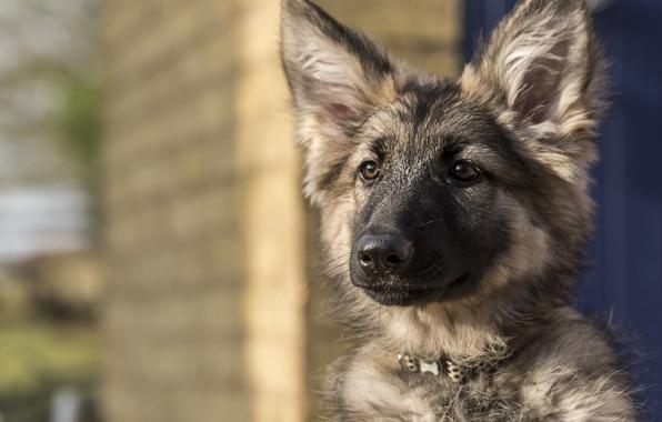 Картинка взгляд, морда, собака, щенок, уши, Немецкая овчарка