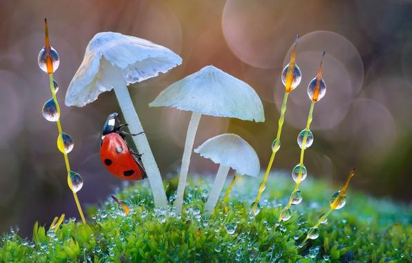 Картинка вода, капли, макро, природа, роса, грибы, божья коровка, мох, травинки, боке, Roberto Aldrovandi