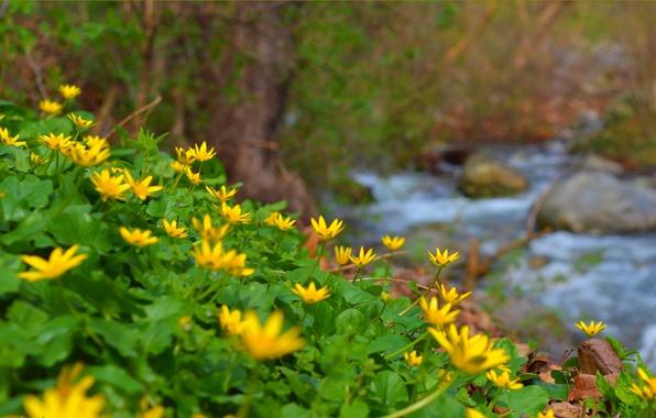 Картинка Природа, Весна, Ручей, Nature, Spring, Желтые цветы, Yellow flowers, Чистяк, Лютик весенний