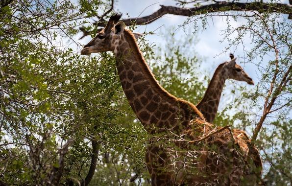 Картинка жирафы, окрас, двое, шея