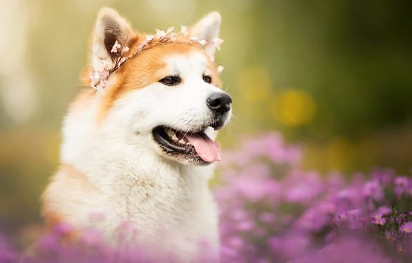 Картинка язык, морда, цветы, портрет, собака, венок, боке, Акита-ину