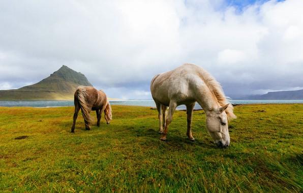 Картинка поле, горы, кони, лошади, Исландия, пасутся, исландские