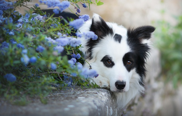 Картинка взгляд, морда, цветы, собака, Бордер-колли