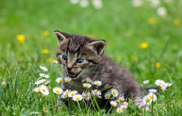 Картинка трава, цветы, малыш, котёнок, боке, маргаритки, пискля