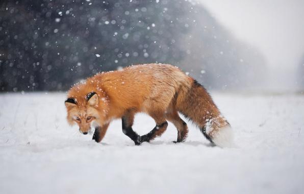 Картинка зима, взгляд, снег, лиса, лис, боке