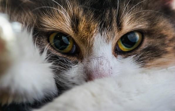 Картинка кошка, глаза, взгляд, мордочка, котейка