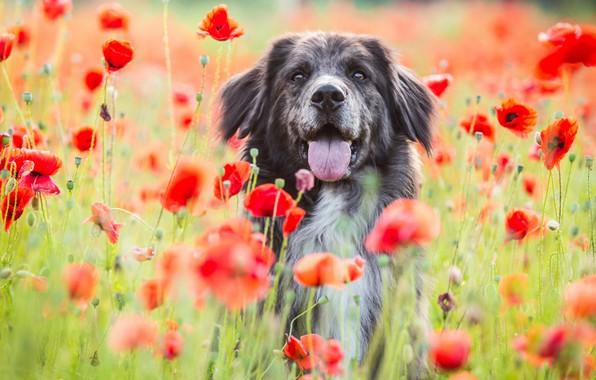 Картинка поле, язык, морда, цветы, природа, фон, маки, портрет, собака, красные, маковое поле, пестрая