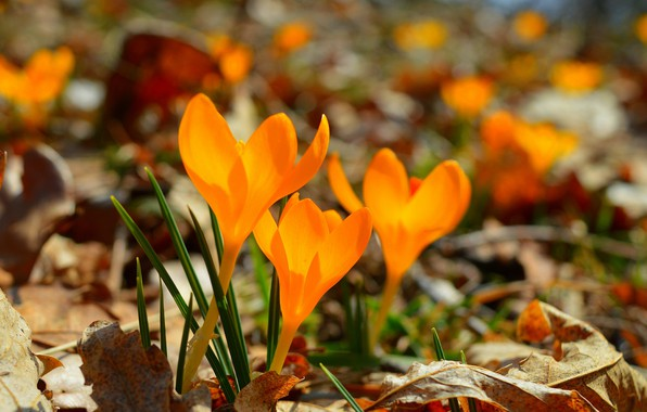 Картинка Крокусы, Crocuses, Жёлтые цветы, Yellow flowers