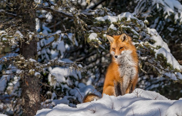 Картинка зима, лес, снег, лиса, рыжая