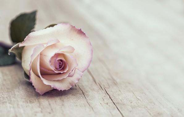 Картинка Роза, Цветок, Бутон