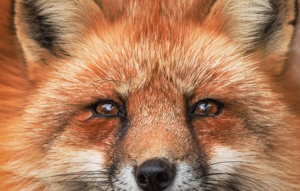 Фото обои рыжая морда, лиса, портрет, лис