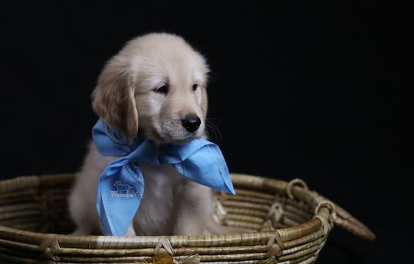Картинка фон, корзина, собака, щенок, косынка, Голден ретривер, Золотистый ретривер