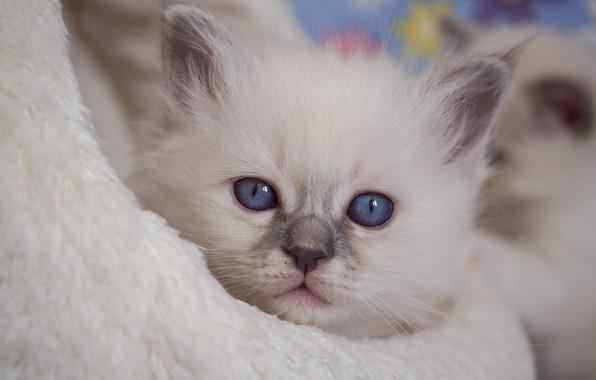 Картинка взгляд, мордочка, котёнок, голубые глаза, Рэгдолл