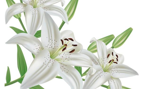 Картинка Цветы, Белые, Лилии