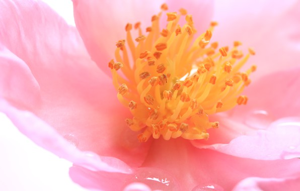 Картинка цветок, лепестки, тычинки, камелия