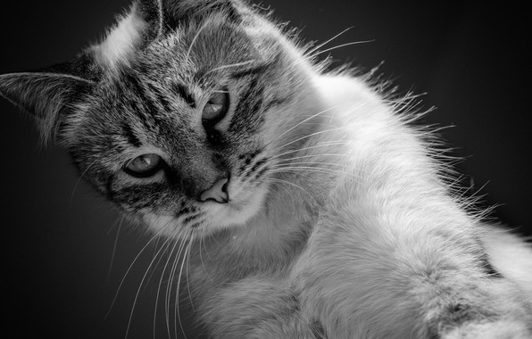 Картинка кошка, кот, чёрно-белая, котёнок, монохром, котейка