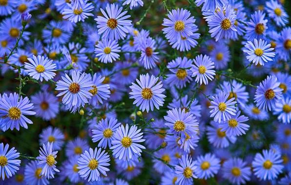 Картинка цветы, астры, астра новобельгийская