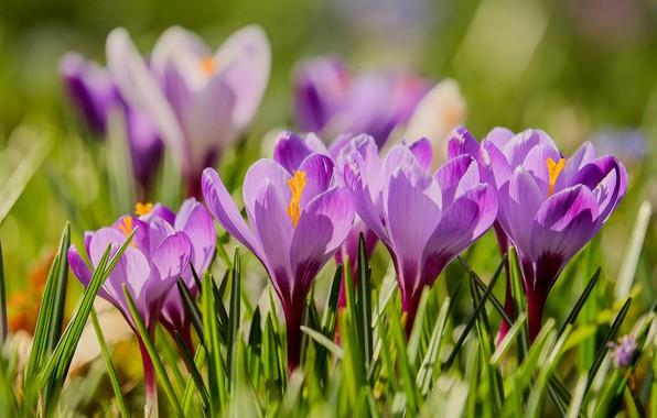 Картинка Весна, цветение, Крокусы