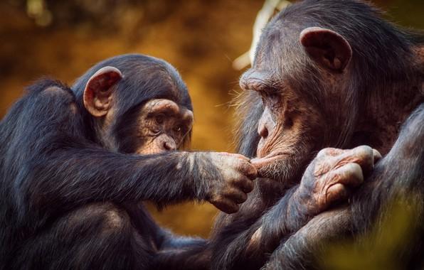 Картинка игра, обезьяна, обезьяны, детёныш, шимпанзе