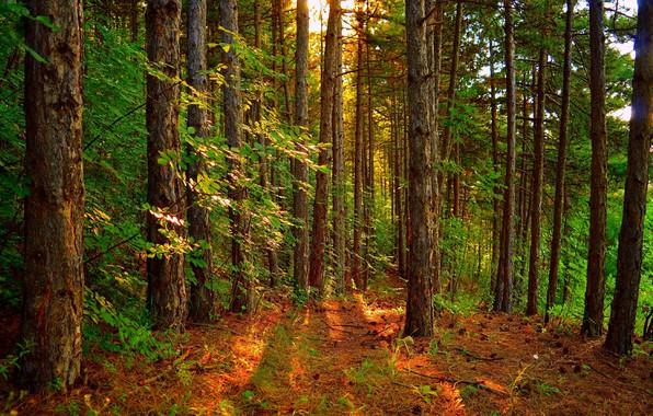 Картинка Деревья, Лес, Пейзаж, Forest, Trees, Лучи солнца