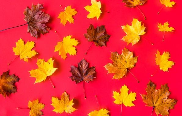 Картинка листья, фон, клен