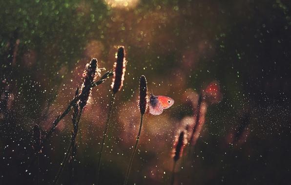 Картинка трава, капли, макро, свет, бабочки, блики, бабочка, боке