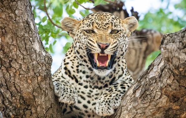 Картинка морда, злость, хищник, ярость, пасть, леопард, клыки, оскал, Африка, агрессия, дикая кошка, на дереве, рык, …