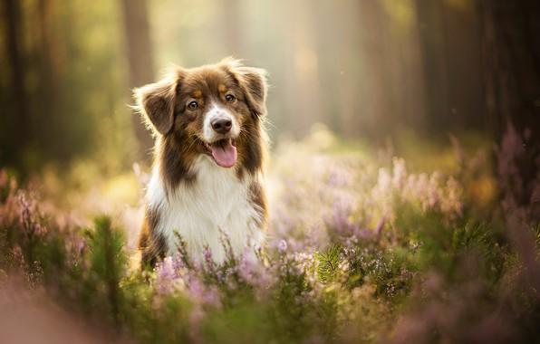 Картинка язык, собака, лаванда, боке, Kaylee