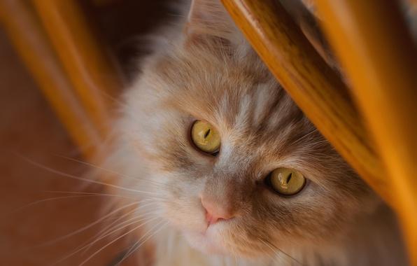 Картинка кот, взгляд, рыжий, мордочка, рыжий кот