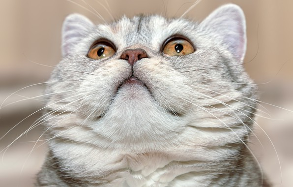 Картинка кошка, взгляд, портрет, мордочка, котейка