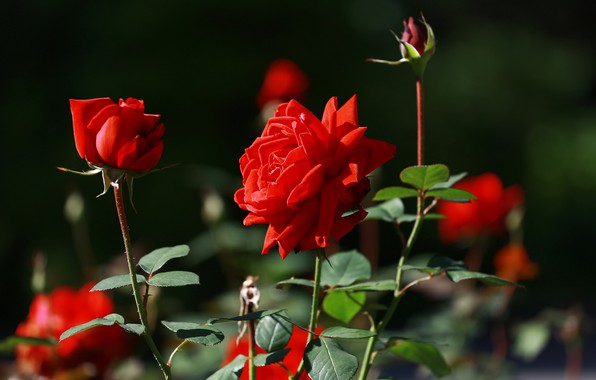 Картинка лето, красота, красные розы