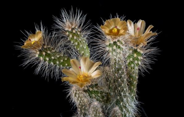 Картинка иголки, растение, лепестки, кактус, колючки, тычинки, черный фон, картинка, желтые цветы