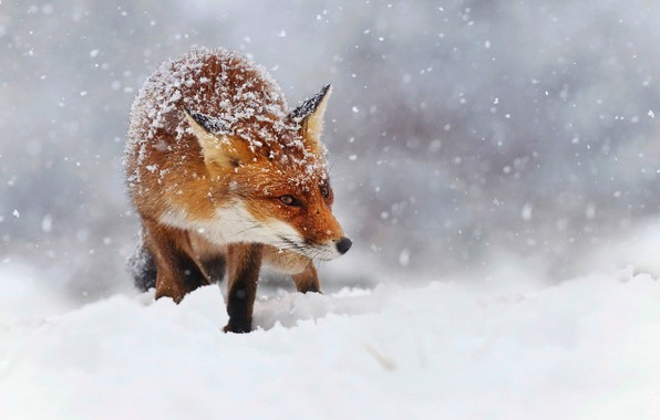 Картинка зима, снег, снежинки, природа, лиса, рыжая, лисица, боке