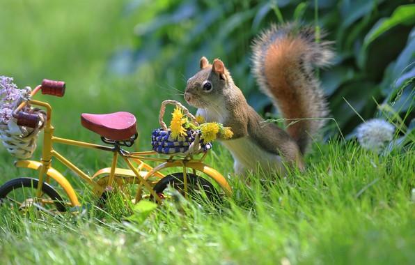 Картинка лето, трава, цветы, природа, велосипед, животное, белка, одуванчики, корзинка, зверёк, грызун