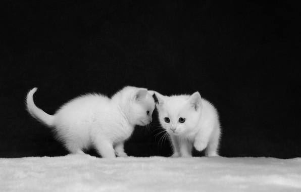 Картинка чёрно-белая, котята, белые, малыши, парочка, монохром, два котёнка