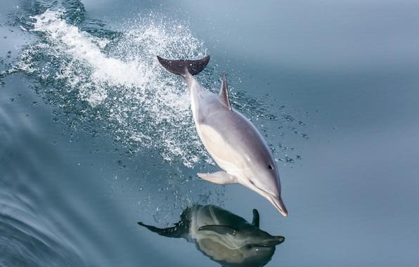 Картинка море, вода, брызги, дельфин, отражение, прыжок