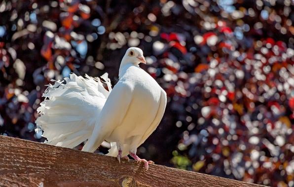 Картинка природа, птица, голубь, балка