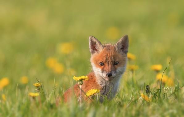 Картинка трава, взгляд, цветы, малыш, мордочка, детёныш, одуванчики, боке, лисёнок