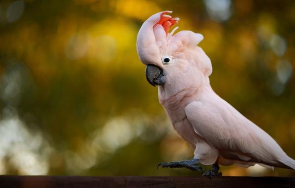 Фото обои птица, фон, какаду, розовый, боке