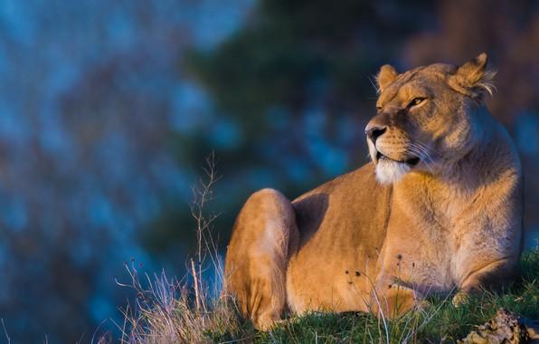 Картинка трава, взгляд, морда, свет, кошки, поза, фон, лев, красавица, лежит, дикие кошки, львица, голубой фон, ...