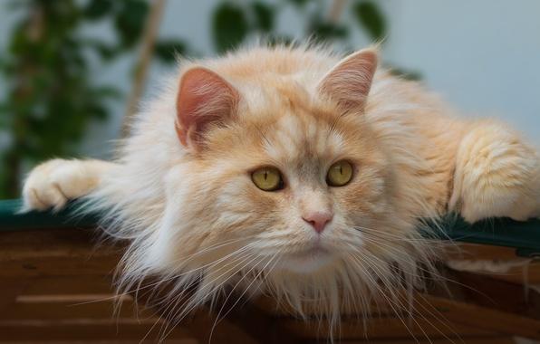 Картинка кот, взгляд, мордочка, котэ, рыжий кот, котейка